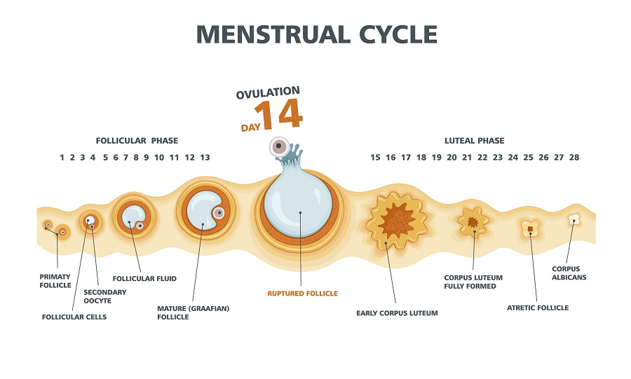 Mini IVF - Eisprung nicht künstlich auslösen